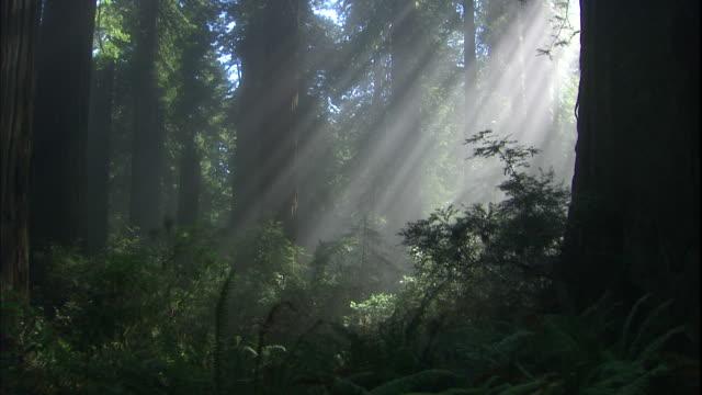 vídeos de stock, filmes e b-roll de sun beams shine down through tall redwood trees. - parque nacional de redwood