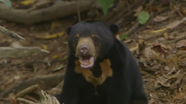 cu sun bear eating and looking / sandakan, sabah, malaysia - malaysia stock videos & royalty-free footage
