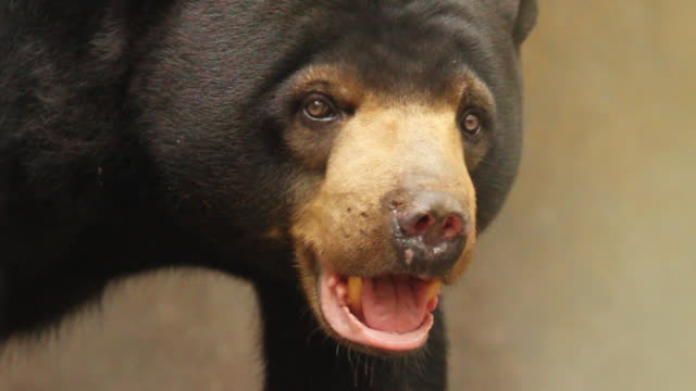 vidéos et rushes de sun bear in enclosure. - un seul animal