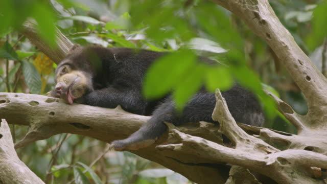 MS Sun bear sleeping on fallen tree / Sandakan, Sabah, Malaysia