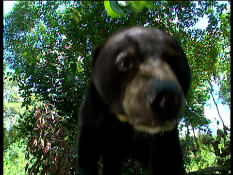 Sun bear sniffs at camera before pulling part of it off with his claws Borneo