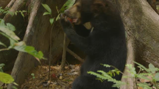 cu tu sun bear standing and eating fruit / sandakan, sabah, malaysia - animals in the wild stock videos & royalty-free footage