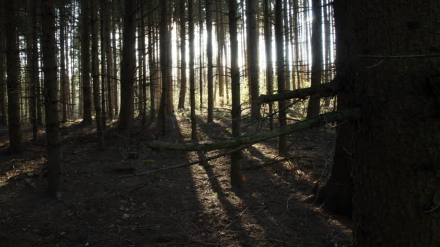 T/L Sun behind coniferous trees