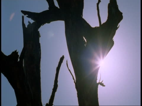 ms sun behind silhouetted tree, bandhavgarh national park, india - national icon stock videos & royalty-free footage