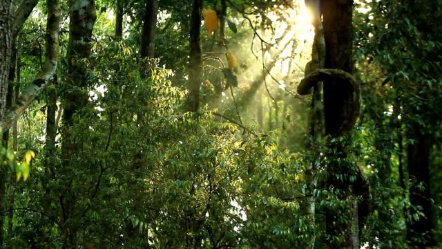 domenica rompere attraverso alberi di pino - sequoia rossa video stock e b–roll