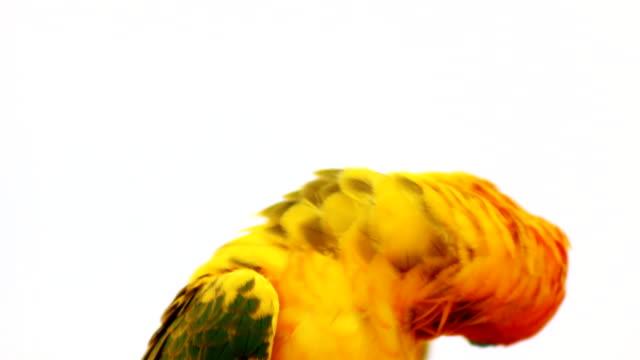 sun conure parrot. close up shot