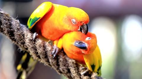 vídeos y material grabado en eventos de stock de conuro solar parrot - colorido