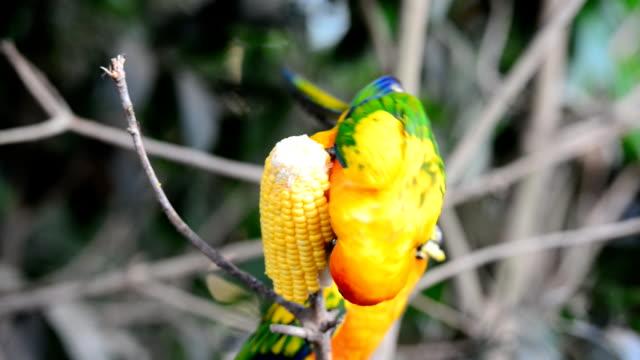 sonnensittich parrot - wellensittich sittich stock-videos und b-roll-filmmaterial