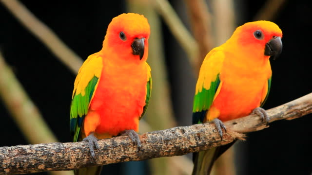 sun conure parrot - costa rica stock videos and b-roll footage