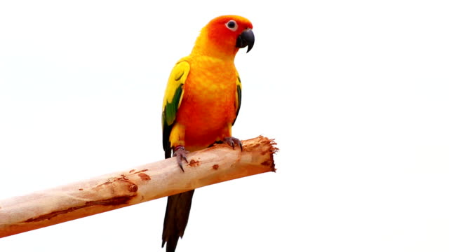 sun conure parrot - parrot stock videos & royalty-free footage