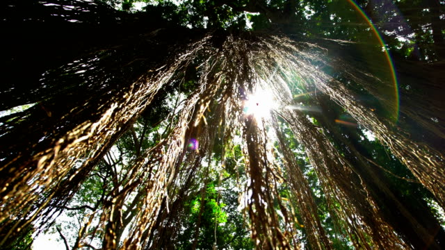 sun flare through jungle canopy tropical rainforest bali - tropical tree stock videos & royalty-free footage