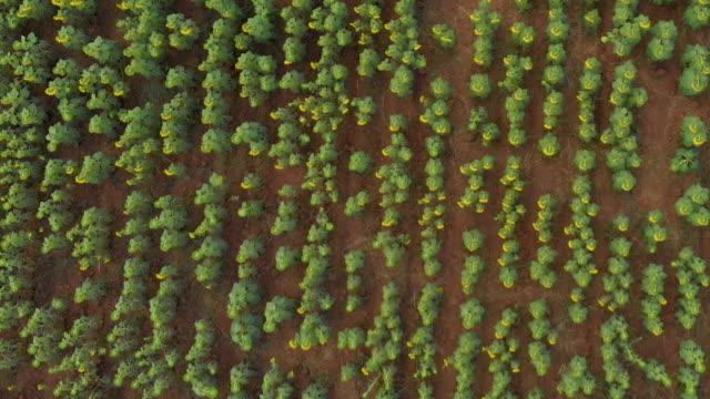 stockvideo's en b-roll-footage met zon bloem veld landschap - zonnebloem
