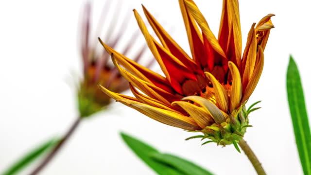 vídeos y material grabado en eventos de stock de flor del sol - gazania florece en un video de tiempo lapso hd 1080. - pistilo