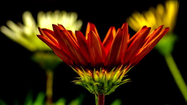 Sun Flower - Gazania blooming in a time lapse Hd 1080 video.