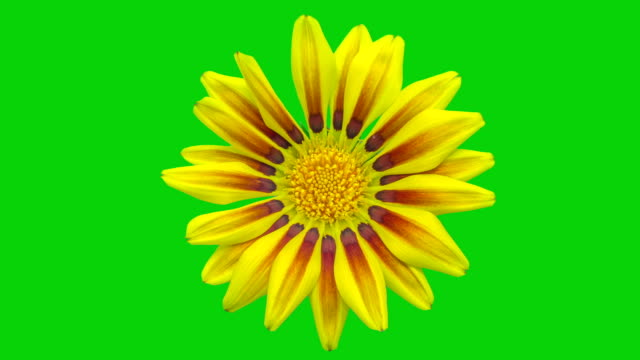 Sun Flower - Gazania blooming in a time lapse video on a green background. Alpha channel included.