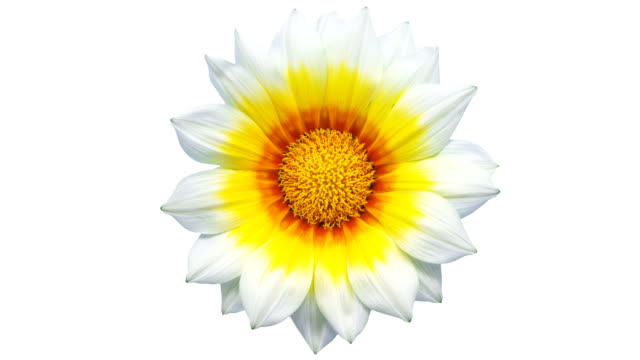 sun flower - gazania blooming in a time lapse video on a white background. alpha channel included. - alpha channel stock videos & royalty-free footage