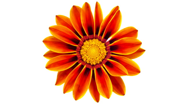 sun flower - gazania blooming in a time lapse video on a white background. alpha channel included. - white background stock videos & royalty-free footage