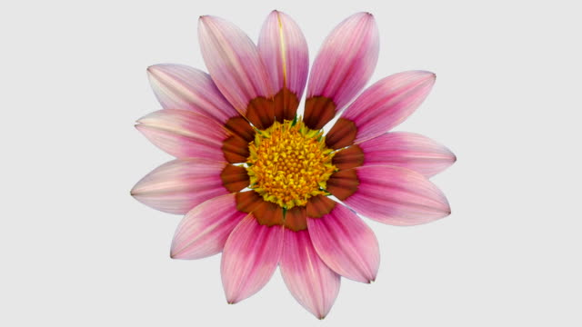 sun flower - gazania blooming in a time lapse video on a white background. alpha channel included. - flower head stock videos & royalty-free footage