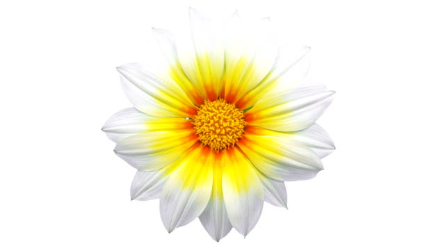 sun flower - gazania blooming in a time lapse video on a white background. alpha channel included. - in bloom stock videos & royalty-free footage