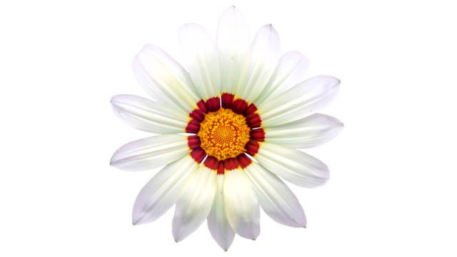 vidéos et rushes de sun flower - gazania fleurit dans un laps de temps vidéo sur fond blanc. canal alpha inclus. - fond blanc