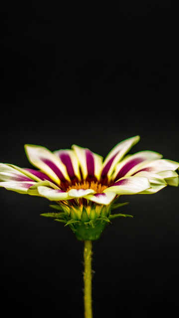 sun flower - sun flower - gazania blooming in a time lapse 4k video on a black background. vertical time lapse in 9:16 ratio mobile phone and social media ready. gazania is a genus of flowering plants in the family asteraceae, native to southern africa. - gazania stock videos & royalty-free footage