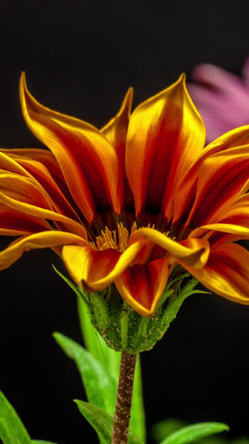 vídeos de stock e filmes b-roll de sun flower - sun flower - gazania blooming in a time lapse 4k video on a black background. vertical time lapse in 9:16 ratio mobile phone and social media ready. gazania is a genus of flowering plants in the family asteraceae, native to southern africa. - long exposure