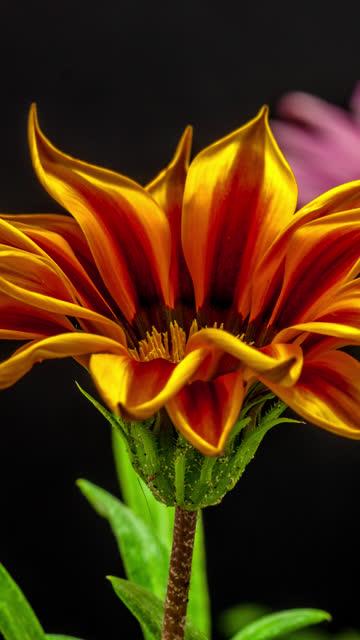vídeos de stock, filmes e b-roll de girassol - girassol - gazania florescendo em um vídeo de lapso de tempo 4k em um fundo preto. lapso de tempo vertical em 9:16 proporção celular e mídias sociais pronto. gazania é um gênero de plantas floridas na família asteraceae, nativa do sul da  - long exposure