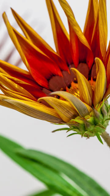 sun flower - sun flower - gazania blooming in a time lapse 4k video on a white background. vertical time lapse in 9:16 ratio mobile phone and social media ready. gazania is a genus of flowering plants in the family asteraceae, native to southern africa. - gazania stock videos & royalty-free footage