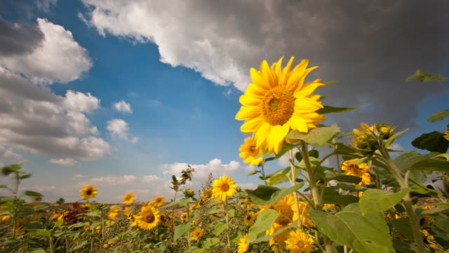 sun flowers - sunflower stock videos and b-roll footage