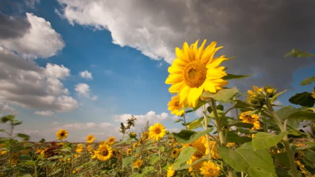 sun flowers - sunflower stock videos & royalty-free footage