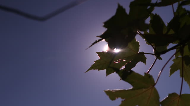 sun in clear blue sky shining through maple leaves - maple stock videos & royalty-free footage