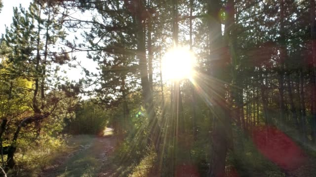 Sun in the pine tree forest