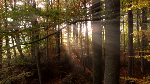 sun light beams through autumn forest trees at sunset. vibrant fall season nature background