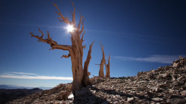 vídeos y material grabado en eventos de stock de tl sun over ancient bristlecone pine trees, california, usa - árido