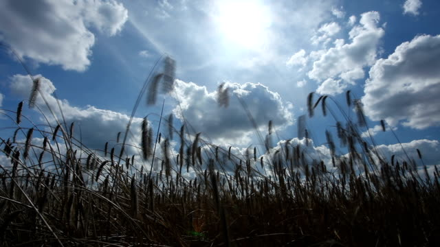 stockvideo's en b-roll-footage met sun over swaying crops - time lapse - wiese