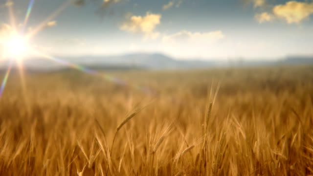 Sun over wheat field