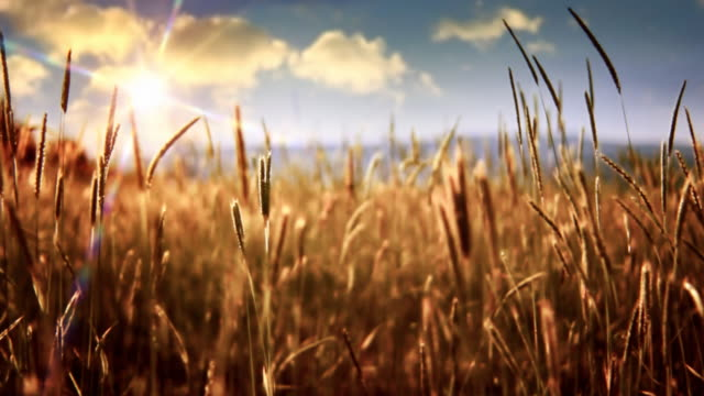sun over windy field - wheat stock videos & royalty-free footage