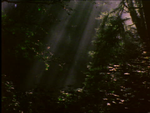 vídeos de stock, filmes e b-roll de sun rays coming thru trees in forest / redwood national park, california - 2001