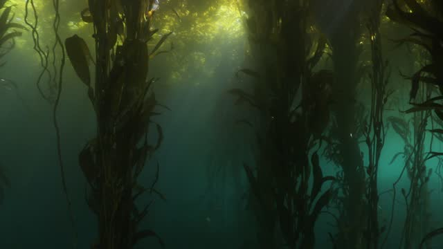 sun rays in the kelp forest 4k - seaweed stock videos & royalty-free footage