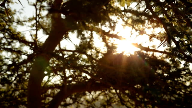 LA Sun rays shine through a thorn tree, Umtata, South Africa