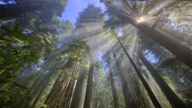 Sun rays through forest, Redwood National Park, California
