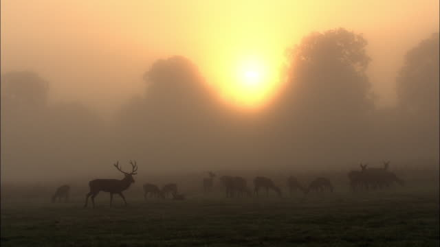 sun rises over red deer (cervus elaphus) stag and harem in mist at dawn, richmond park, london, uk - hirsch stock-videos und b-roll-filmmaterial