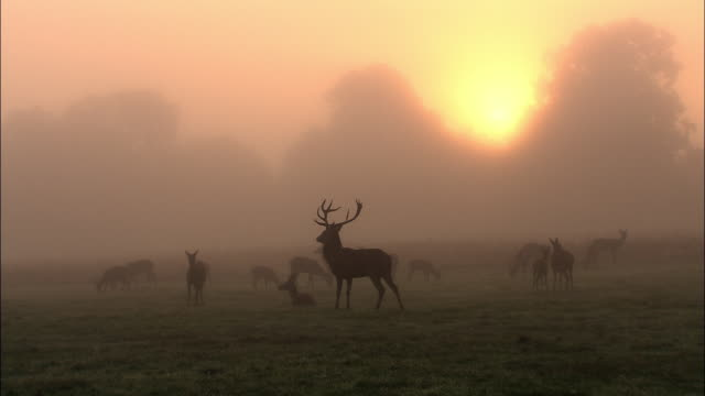 Sun rises over red deer (Cervus elaphus) stag and harem in mist at dawn, Richmond Park, London, UK