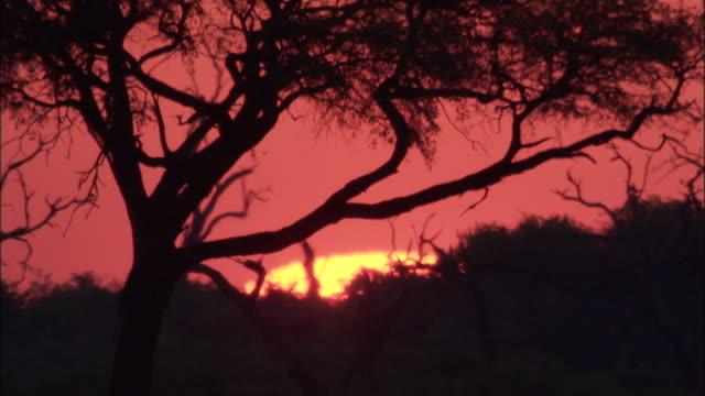 sun sets behind acacia tree, botswana - acacia tree stock videos & royalty-free footage