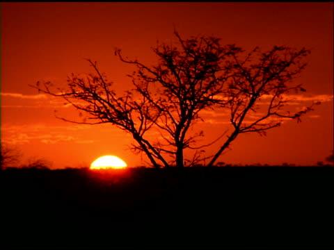 stockvideo's en b-roll-footage met sun sets behind horizon in orange sky, silhouetted tree in foreground, botswana - plant attribute