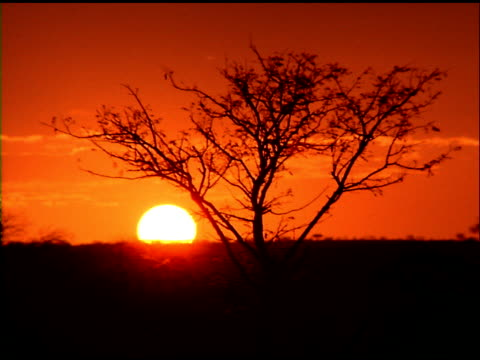 stockvideo's en b-roll-footage met sun sets behind horizon, silhouetted tree in foreground, botswana - plant attribute