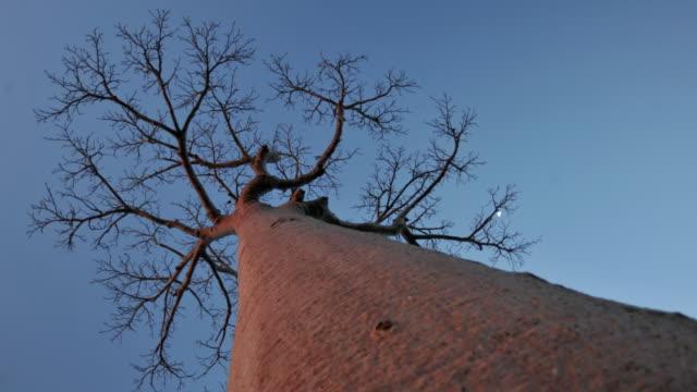 Sun sets over baobab (Adansonia) tree, Madagascar