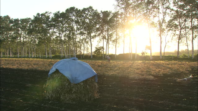 sun sets over stack of harvested beans as woman picks crop in background, otofuke, hokkaido, japan - 農作業点の映像素材/bロール