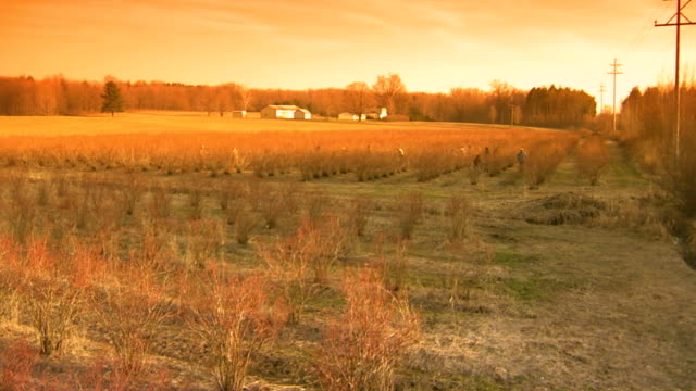 sun setting over a blueberry field, crane shot, high to low angle - crane shot stock videos & royalty-free footage