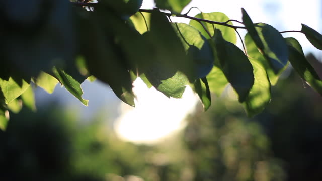 sun shine in front of green leaves. fresh crisp green oval tree leaves backlit in front of sky with sun flare. nature background. fhd prores - stable stock videos & royalty-free footage
